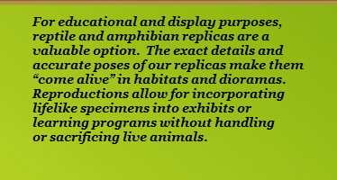 "For educational and display purposes,                 reptile and amphibian replicas are a                 valuable option.  The exact details and                 accurate poses of our replicas make them                 ""come alive"" in habitats and dioramas.                 Reproductions allow for incorporating                 lifelike specimens into exhibits or                 learning programs without handling                 or sacrificing live animals."